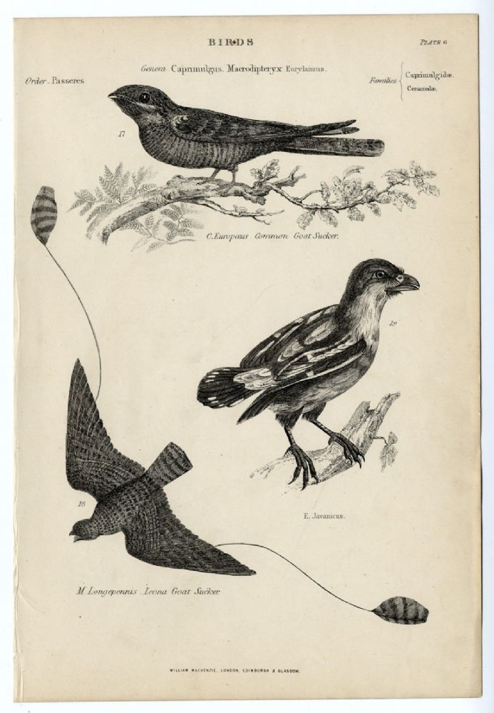 1864 BIRDS Leona Common Goat Sucker; Broadbill PRINT FROM ENGRAVING (6)